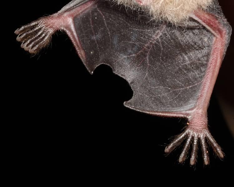 Ноги и когти летучей мыши фото