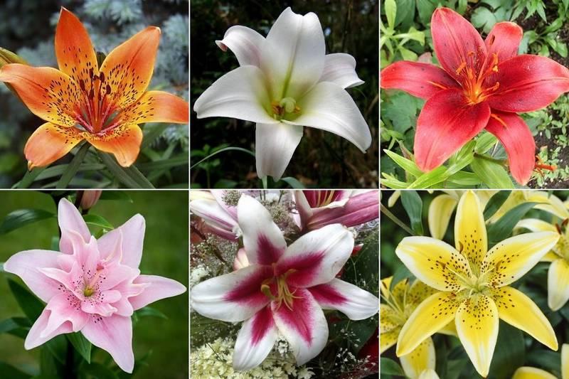 Фото цветов лилии