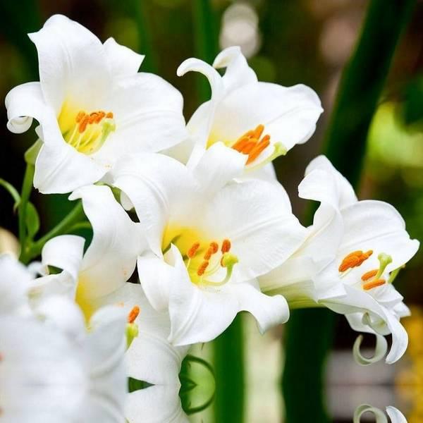 Белые лилии фото (лат. Lilium Candidum)