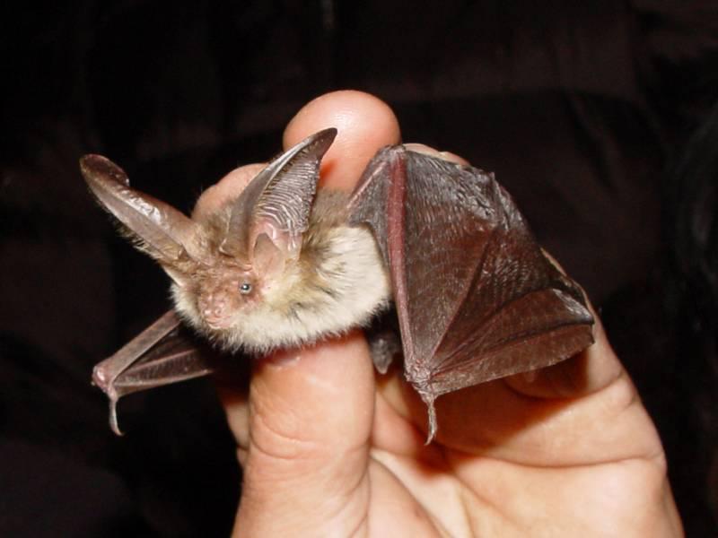 Бурый ушан (обыкновенный ушан) фото (лат. Plecotus auritus)