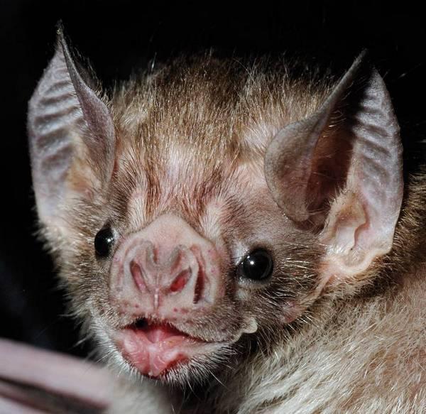 Глаза летучей мыши фото (вид – обыкновенный вампир)