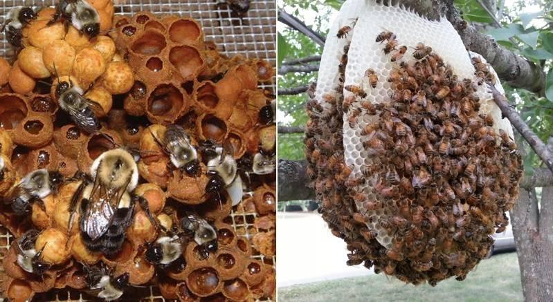 Гнездо шмеля и пчелы фото