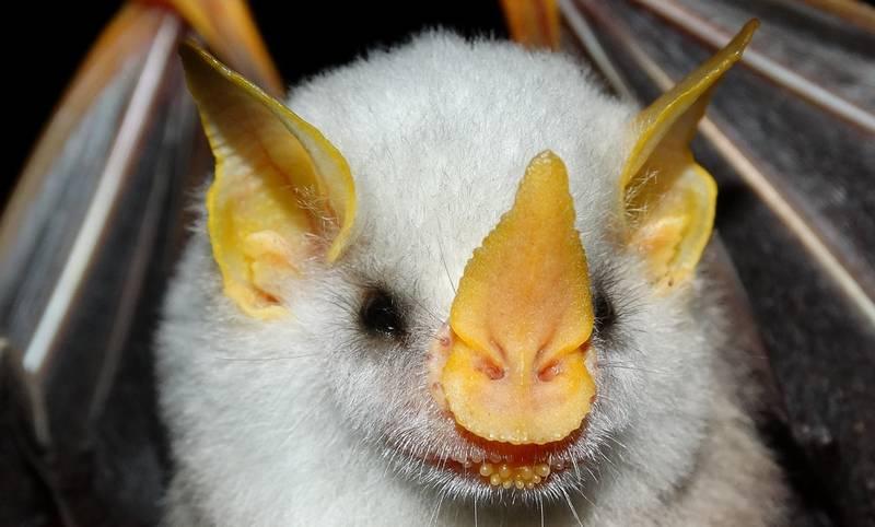 Гондурасская белая летучая мышь фото (лат. Ectophylla alba)