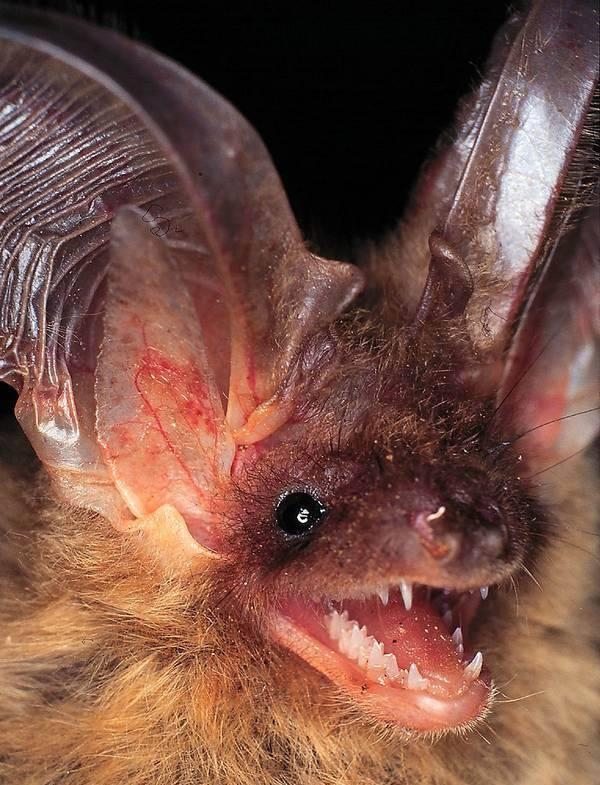 Зубы летучей мыши фото (вид – бурый ушан)