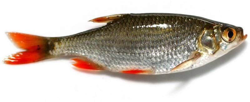 Красноперка фото рыбы (сорога, краснокрыл)
