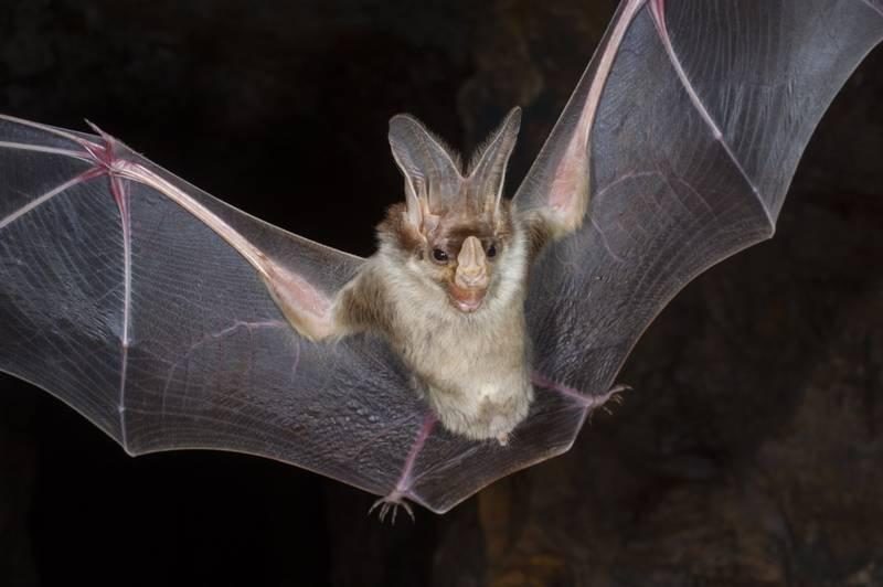 Крылья летучей мыши Macroderma gigas фото