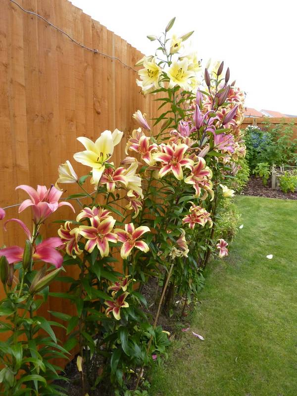 Цветок лилия и описание цветка лилии