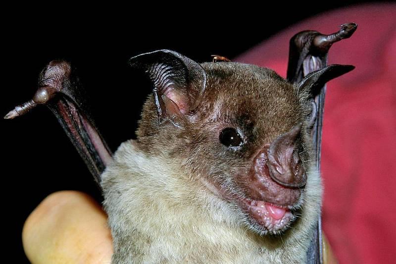 Морда летучей мыши фото (вид – Phyllostomus discolor)