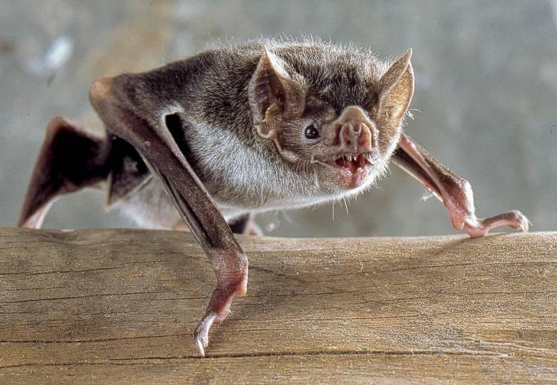Обыкновенный вампир (большой кровосос, десмод) фото (лат. Desmodus rotundus)
