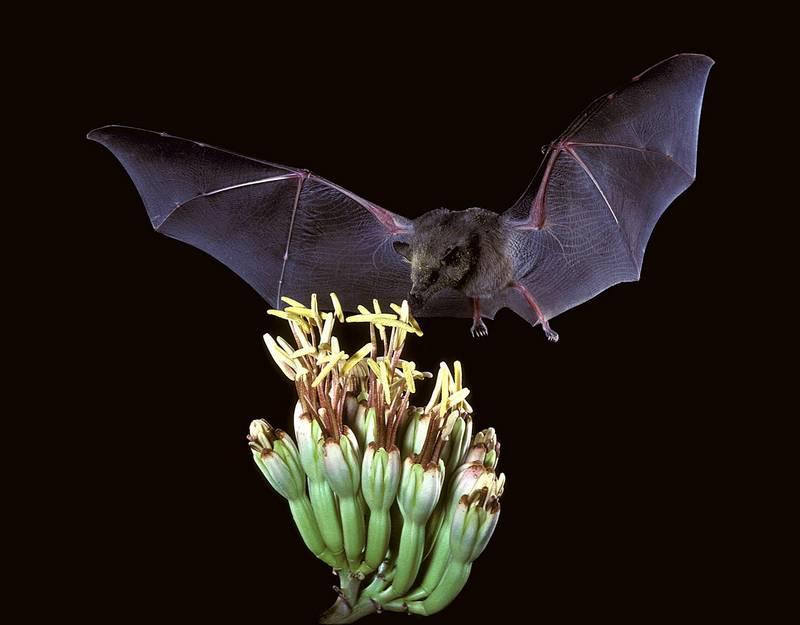 Полет летучей мыши фото