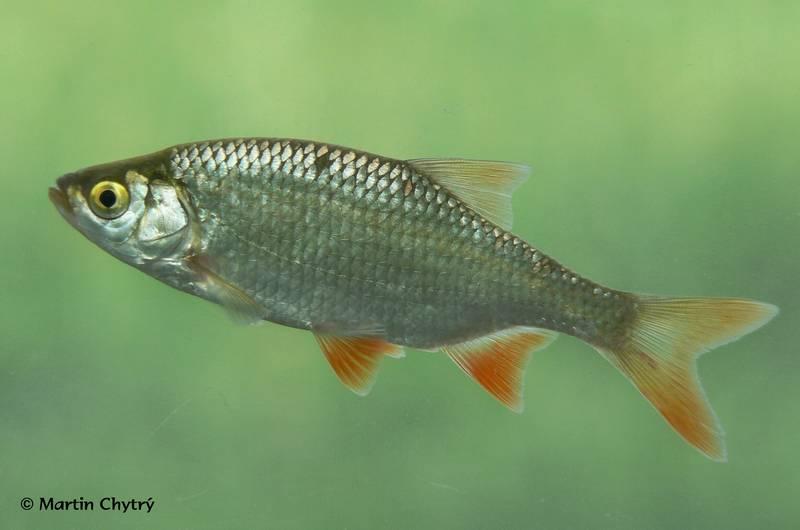 Рыба красноперка (красноглазка) фото