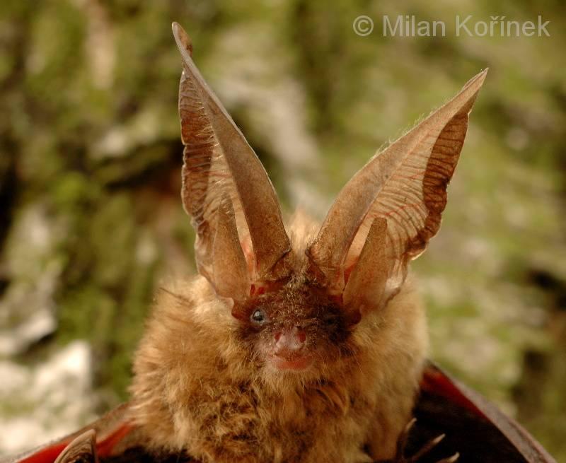 Уши бурого ушана фото (лат. Plecotus auritus)