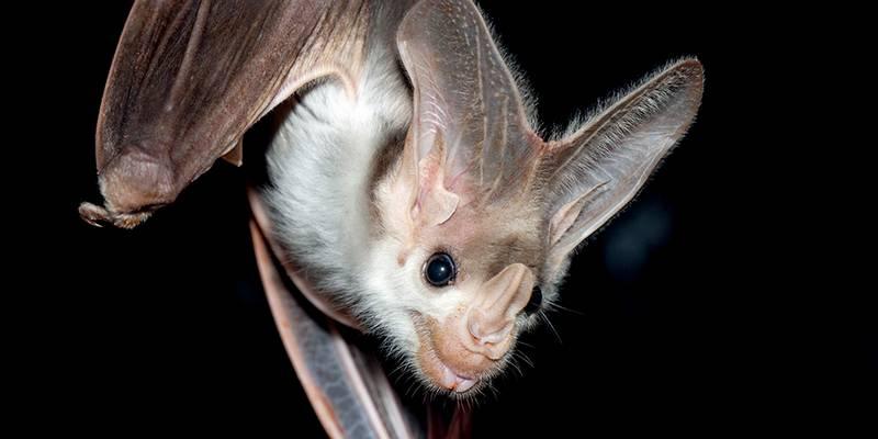 Уши летучей мыши фото (вид – Macroderma gigas)