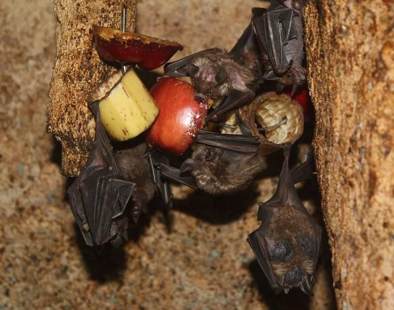 Что едят летучие мыши фото