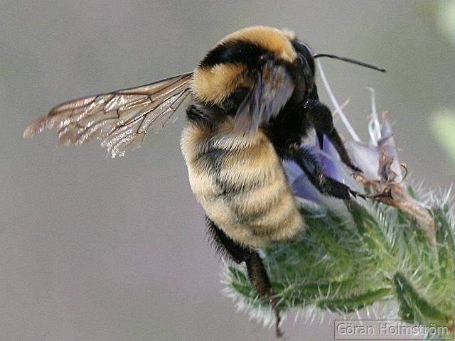 Шмель степной фото (лат. Bombus fragrans)