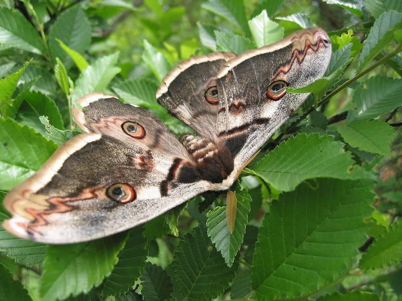 Большой ночной павлиний глаз фото (лат. Saturnia pyri)