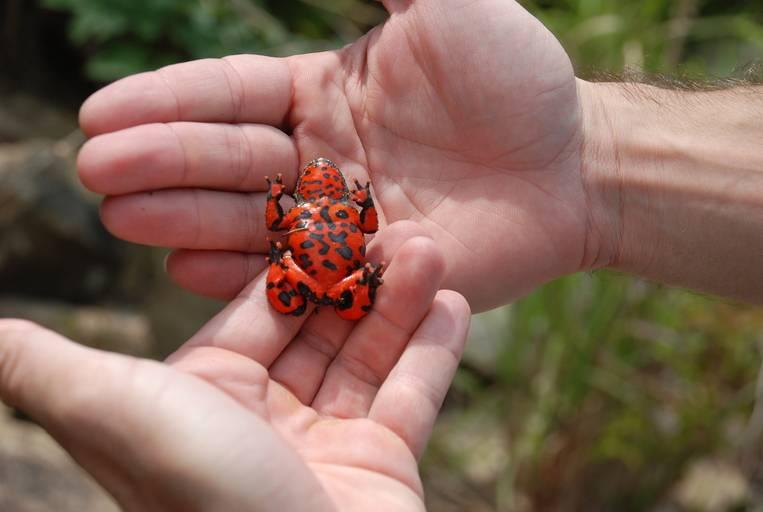 Брюшко дальневосточной жерлянки фото (лат. Bombina orientalis)