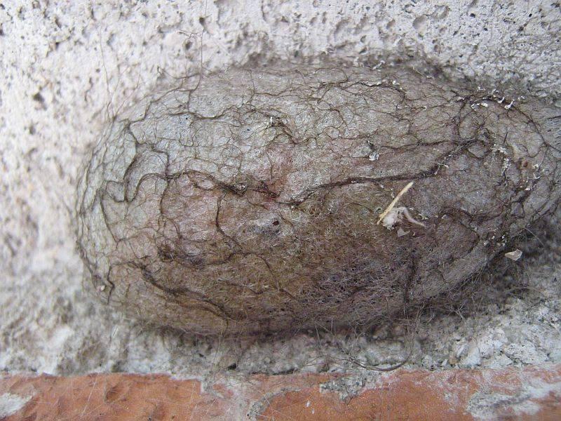 Кокон павлиноглазки грушевой фото