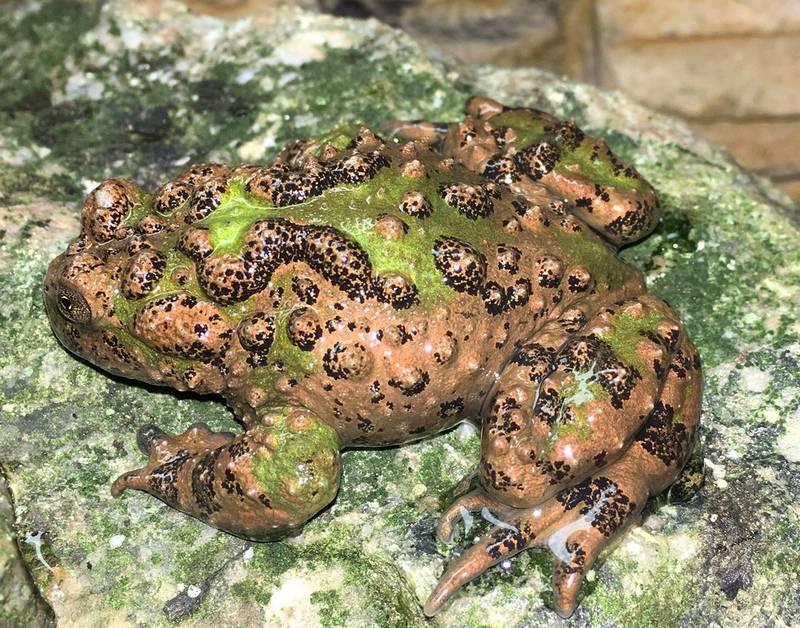Южнокитайская жерлянка (хубейская жерлянка) фото (лат. Bombina microdeladigitora)
