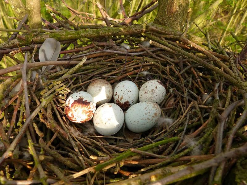 Яйца мадагаскарского ястреба фото