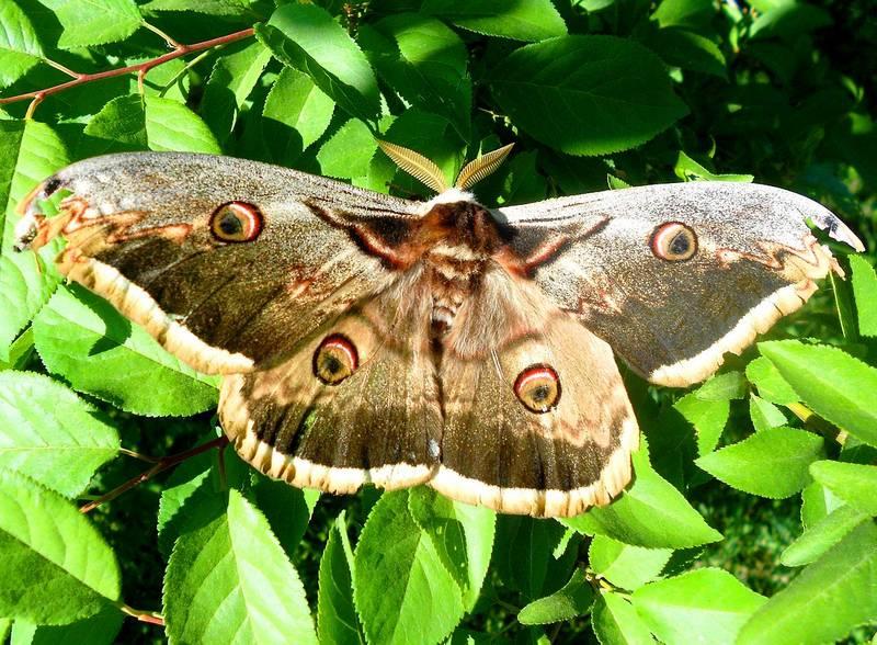 Большой ночной павлиний глаз бабочка фото (лат. Saturnia pyri)