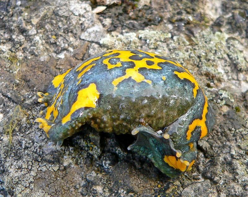 Брюшко желтобрюхой жерлянки фото (лат. Bombina variegata)