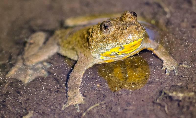 Глаза жерлянки фото (вид - Bombina variegata)