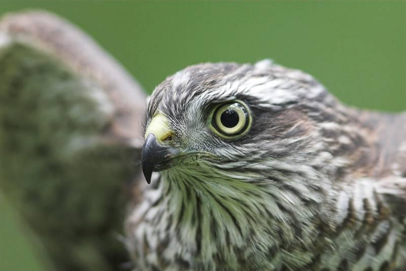 Глаза ястреба фото (вид - Accipiter nisus)