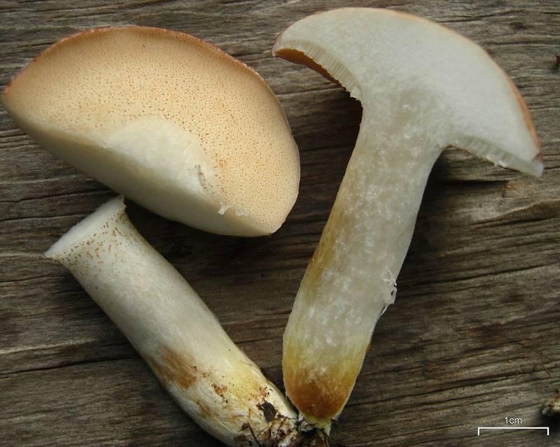 Гриб масленок белый фото (лат. Suillus placidus)