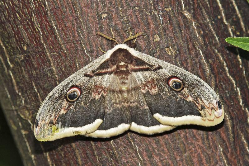 Грушевая павлиноглазка фото (лат. Saturnia pyri)