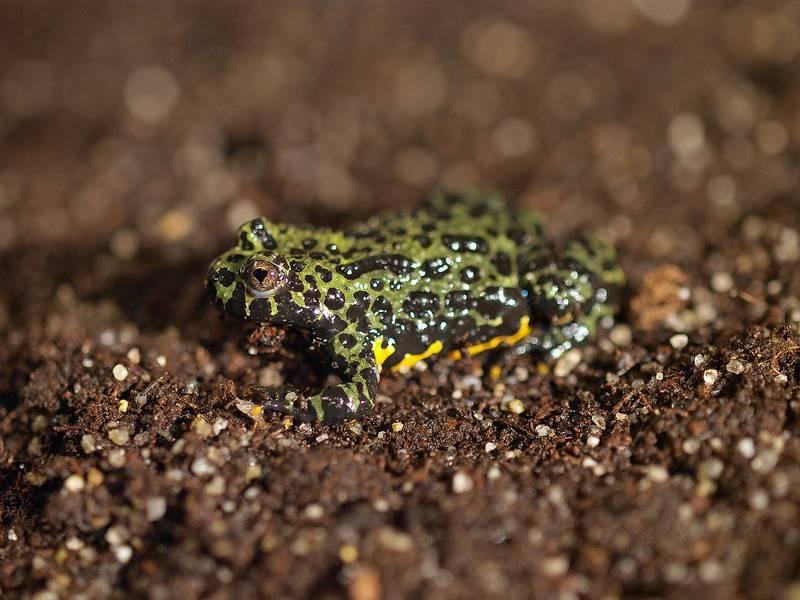 Дальневосточная жерлянка фото (лат. Bombina orientalis)