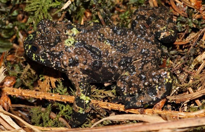 Лягушка жерлянка фото