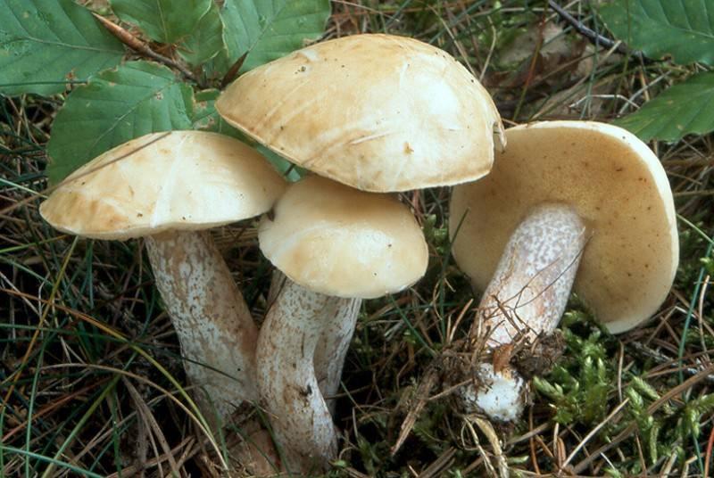 Масленок белый (мягкий, бледный) фото (лат. Suillus placidus)