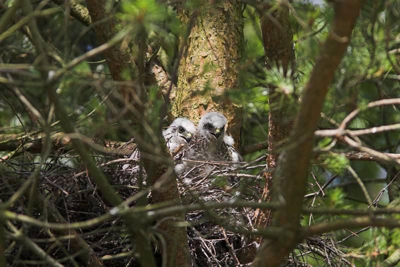 Птенец ястреба-перепелятника фото