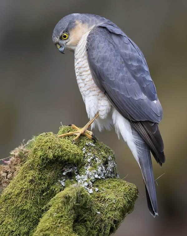 Птица ястреб фото