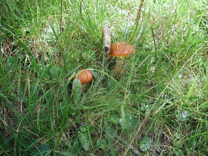 Съедобный маслёнок рыже-красный (тридентский) фото (лат. Suillus tridentinus)