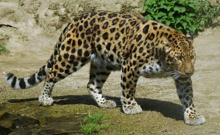 Барс фото (лат.Panthera pardus)