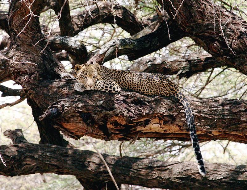 Где живет леопард фото