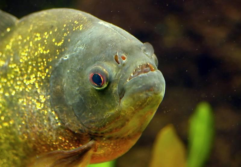 Глаза обыкновенной пираньи фото