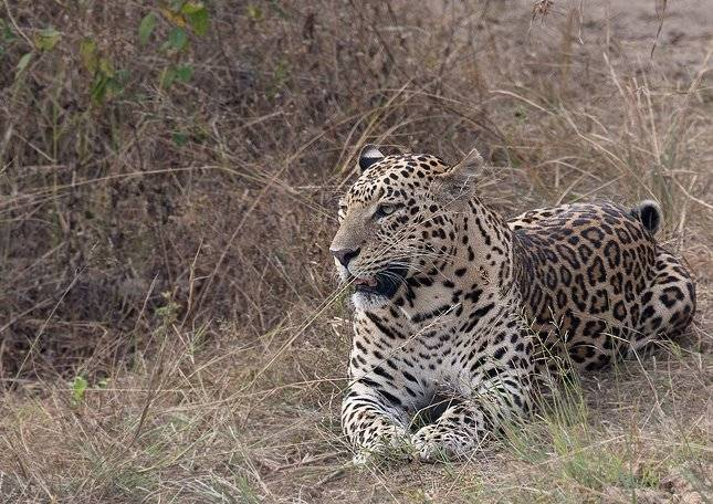 Индийский леопард фото (лат. Panthera pardus fusca)