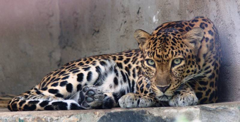 Индокитайский леопард фото (лат. Panthera pardus delacouri)