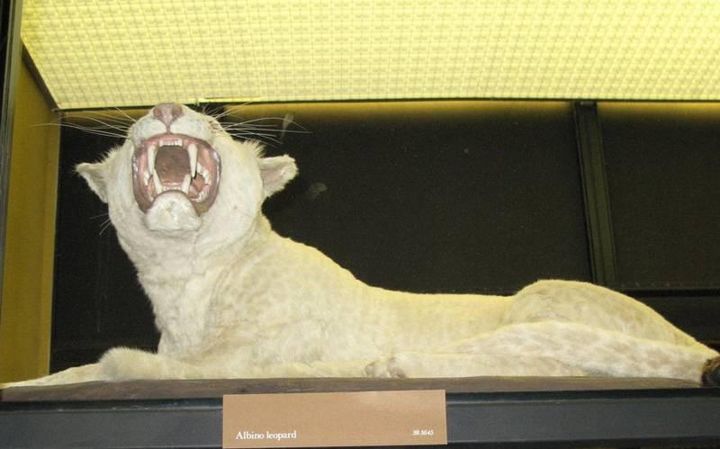 Леопард альбинос фото