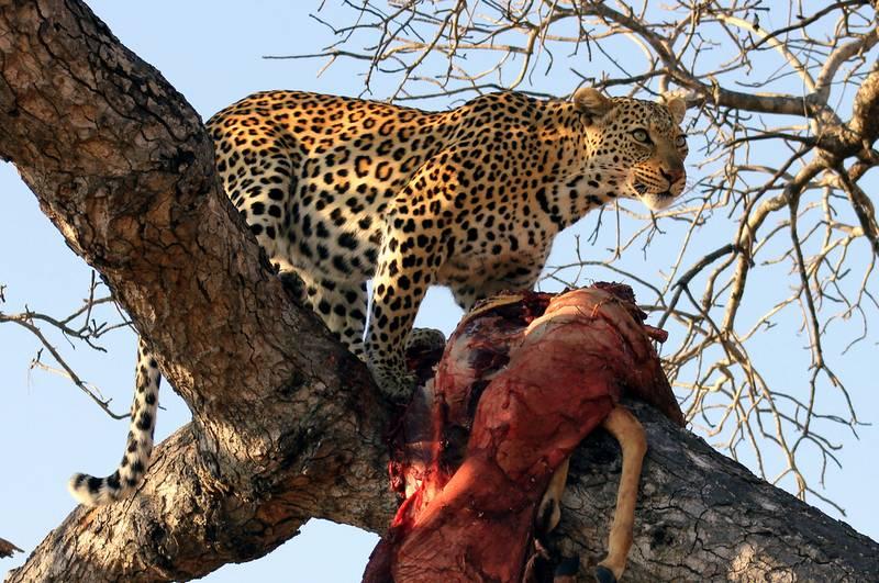 Леопард затащил добычу на ветку дерева фото