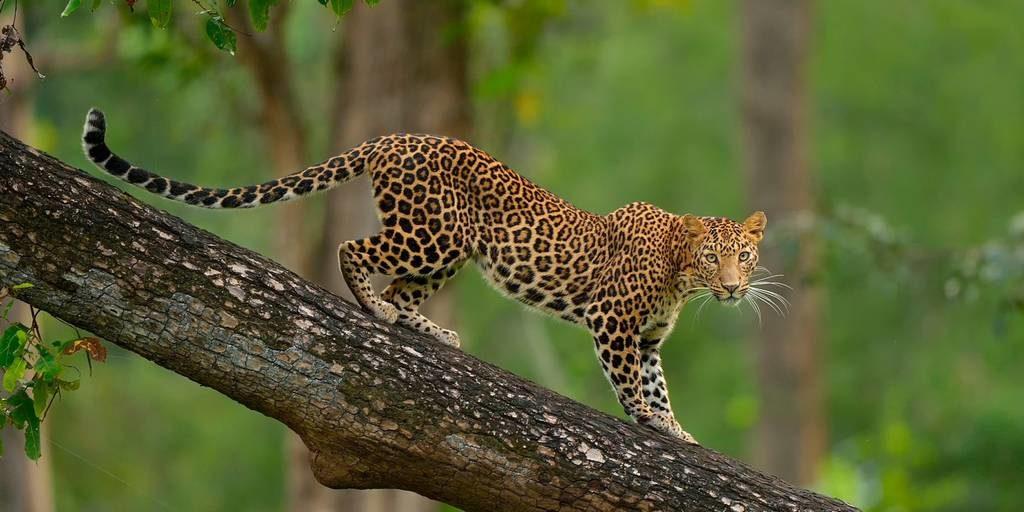 Леопард фото (лат.Panthera pardus)