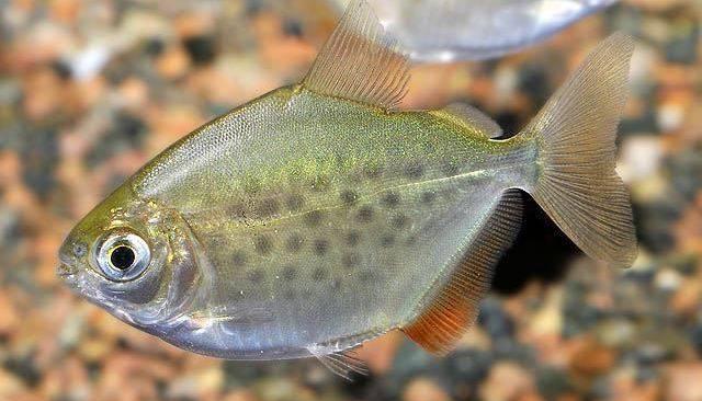 Метиннис пятнистый (пятнистая рыба-доллар) фото (лат. Metynnis maculatus)