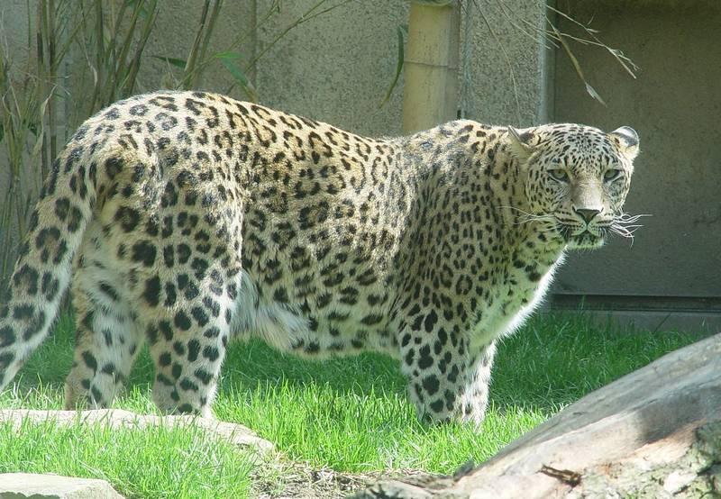 Персидский леопард (переднеазиатский барс) фото (лат.Panthera pardus saxicolor)