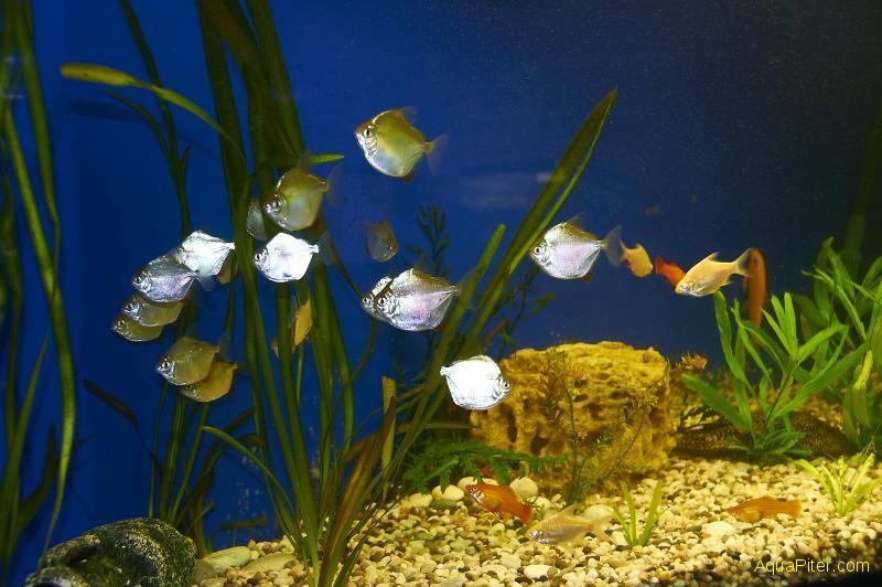 Пираньи в аквариуме фото