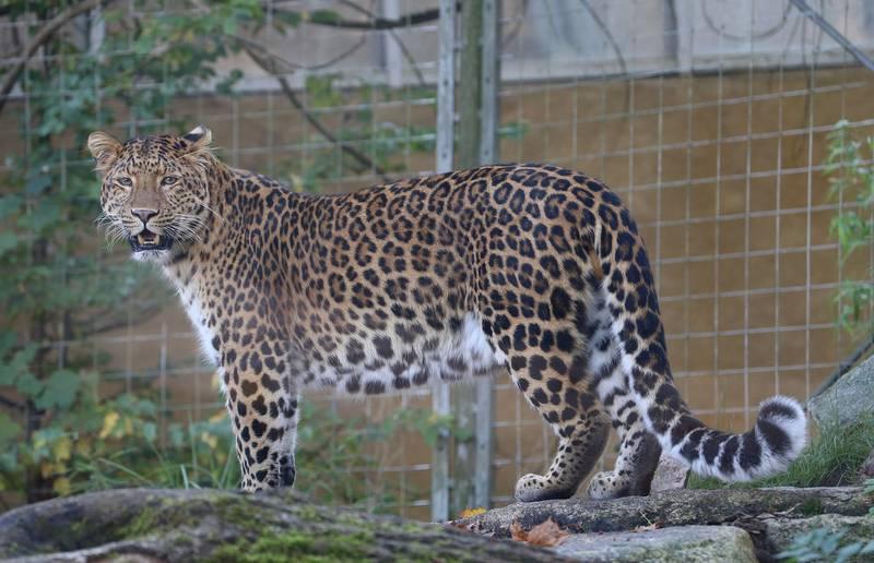 Севернокитайский леопард фото (лат. Panthera pardus japonensis)