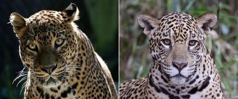 Фото ягуара и леопарда