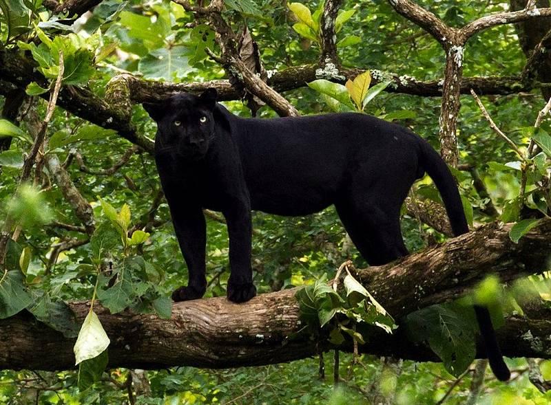 Черный леопард (черная пантера) фото